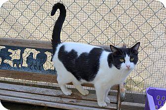 Domestic Shorthair Cat for adoption in Jurupa Valley, California - Amethyst
