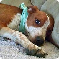 Adopt A Pet :: SCOUT - PARSIPPANY, NJ