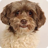 Adopt A Pet :: Valentine Havanese - St. Louis, MO