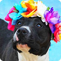 Pit Bull Terrier Dog for adoption in Louisville, Kentucky - RIO