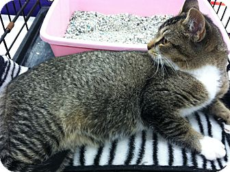 Domestic Shorthair Kitten for adoption in Riverhead, New York - Fitzgerald