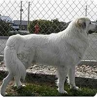 Adopt A Pet :: Beau - Meridian, ID