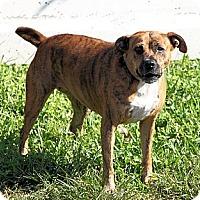 Boxer/American Bulldog Mix Dog for adoption in Jupiter, Florida - Cali