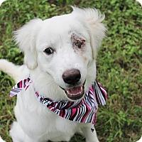 Adopt A Pet :: Aphrodite - Austin, TX