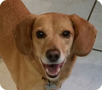 Beagle Mix Dog for adoption in Richmond, Virginia - Dixie