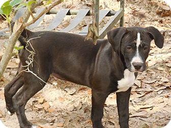 Labrador Retriever Mix Puppy for adoption in Old Town, Florida - Tom