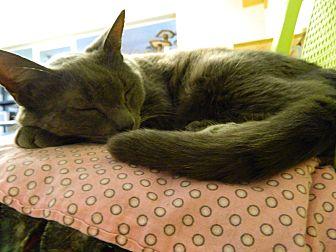Russian Blue Cat for adoption in Jupiter, Florida - Moe