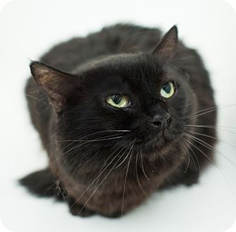Maine Coon Cat for adoption in Los Angeles, California - Duchess