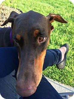 Doberman Pinscher Dog for adoption in Minneapolis, Minnesota - Nina