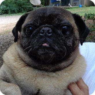 Pug Mix Dog for adoption in Crump, Tennessee - Otis