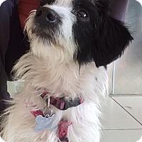 Adopt A Pet :: Cookie - Los Angeles, CA