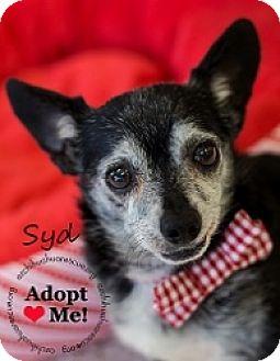 Chihuahua Mix Dog for adoption in Mesa, Arizona - Syd