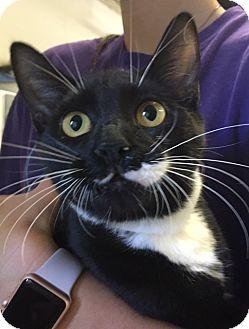 Domestic Shorthair Kitten for adoption in Oakdale, California - Robbie