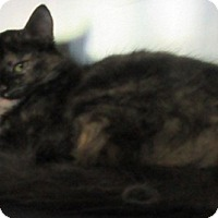 Domestic Shorthair Cat for adoption in Port Jervis, New York - Trina