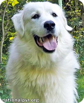 Great Pyrenees Dog for adoption in Beacon, New York - Beauty in NY - adopted