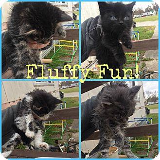 Domestic Longhair Kitten for adoption in Valley City, North Dakota - Fluffy Kittens