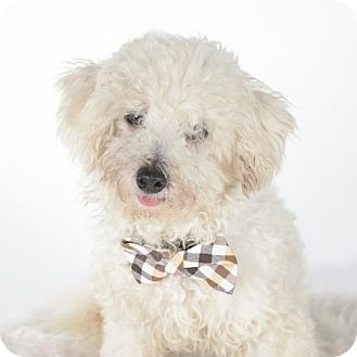Bichon Frise Dog for adoption in St. Louis Park, Minnesota - Chuck - Adoption Pending (10/22)