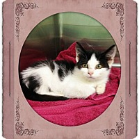 Adopt A Pet :: BLACK & WHITE KITTEN - Kenansville, NC