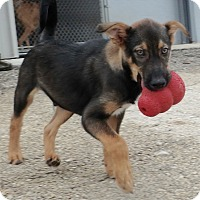 Shepherd (Unknown Type)/Terrier (Unknown Type, Medium) Mix Dog for adoption in Seguin, Texas - Forrest