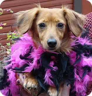 Dachshund Dog for adoption in Portland, Oregon - LILYANNE