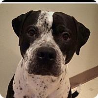 Adopt A Pet :: Hachi - Glenolden, PA