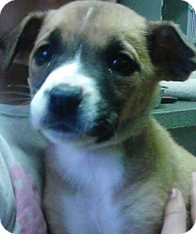 Pit Bull Terrier Mix Puppy for adoption in River Falls, Wisconsin - Beep