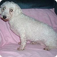 Bichon Frise Mix Dog for adoption in Homer, New York - Reine