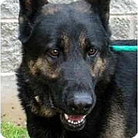 Adopt A Pet :: Max - Hamilton, MT
