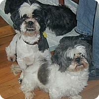 Adopt A Pet :: Bugle and Cornet - Homer Glen, IL