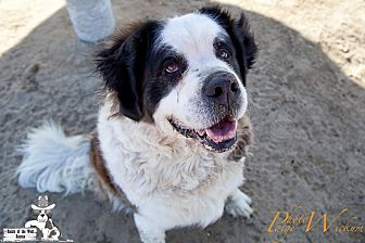 St. Bernard Dog for adoption in Sparks, Nevada - LADY