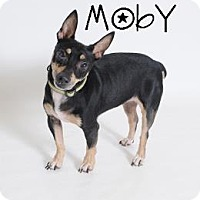 Adopt A Pet :: Moby (in foster care) - Waco, TX