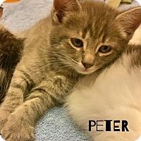 Adopt A Pet :: Peter - McDonough, GA
