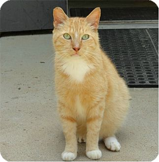 Domestic Shorthair Cat for adoption in Ozark, Alabama - Cooper