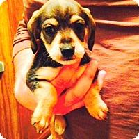 Adopt A Pet :: Danika - Charlemont, MA