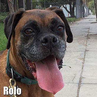Boxer Dog for adoption in Encino, California - Rolo