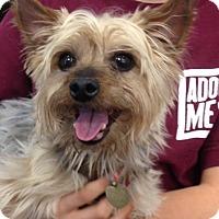 Adopt A Pet :: Snickers - Studio City, CA