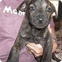 Adopt A Pet :: Helmutt - Memphis, TN