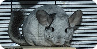 Chinchilla for adoption in Union, Kentucky - Sophie and Sweetpea