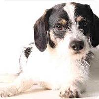 Adopt A Pet :: Oreo - Encino, CA