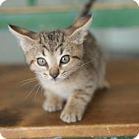 Adopt A Pet :: Bourbon - San Antonio, TX