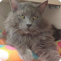 Adopt A Pet :: King-HUGE MAINE COON - Naperville, IL