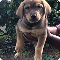 Adopt A Pet :: Ladonna - Buffalo, NY