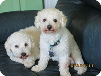 Bichon Frise Dog for adoption in Suffolk, Virginia - Tommie & Teddie