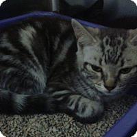 Domestic Shorthair Kitten for adoption in THORNHILL, Ontario - HILDA