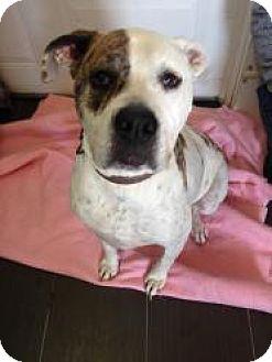 American Bulldog Dog for adoption in Cornwall, Ontario - Axel