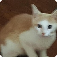 Domestic Shorthair Kitten for adoption in Morgantown, West Virginia - Snickers