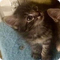 Adopt A Pet :: Galahad - Gainesville, FL