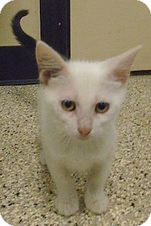 Domestic Shorthair Kitten for adoption in Georgetown, Texas - Worm