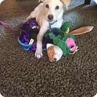 Golden Retriever Mix Puppy for adoption in Alpharetta, Georgia - Miele