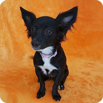 Papillon/Pomeranian Mix Puppy for adoption in Yucaipa, California - Peppa